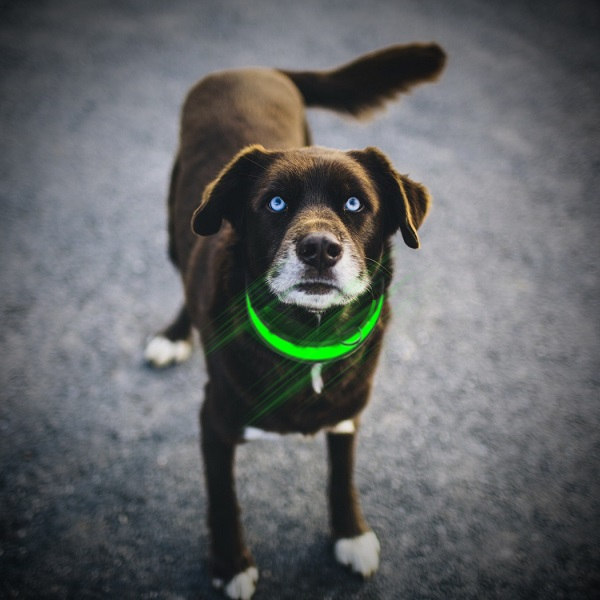 collier-lumineux-chien