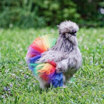 tutu-arc-en-ciel-poule